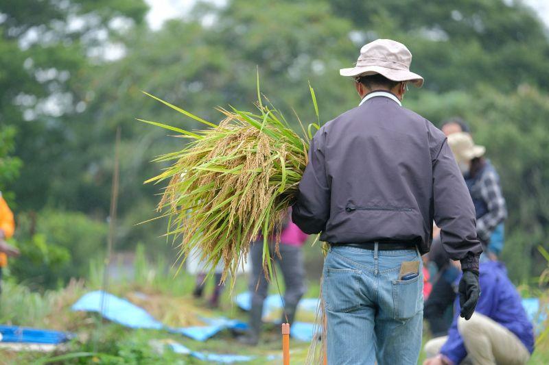 筑波山、稲刈り