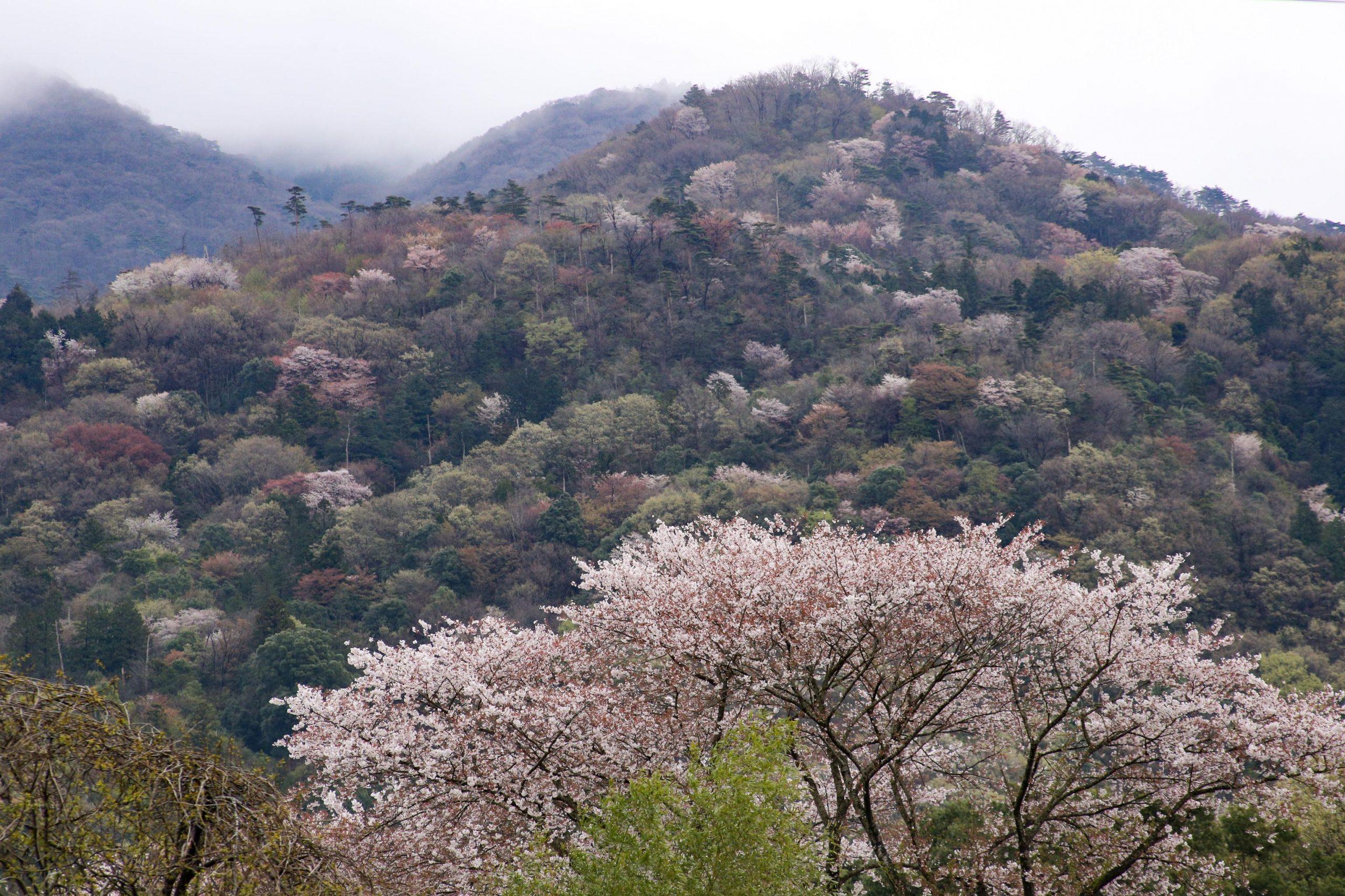 【終了しました】山桜の里・桜川を歩こう~茨城 春の恵みオーベルジュ体験付~