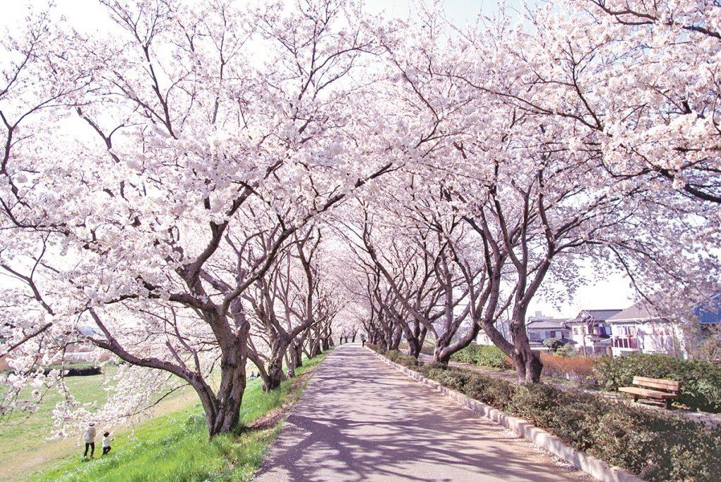桜、土浦市、桜川堤