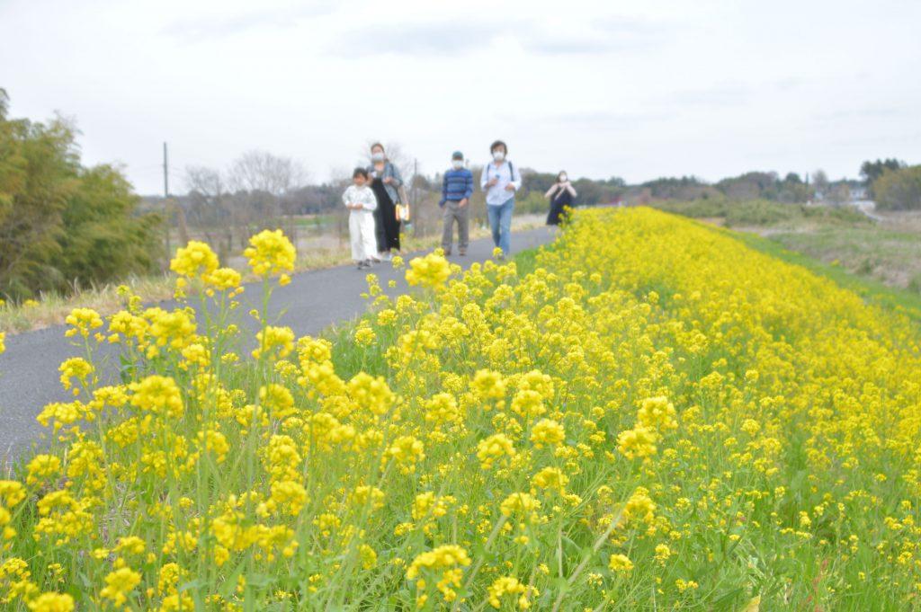 守谷市、菜の花