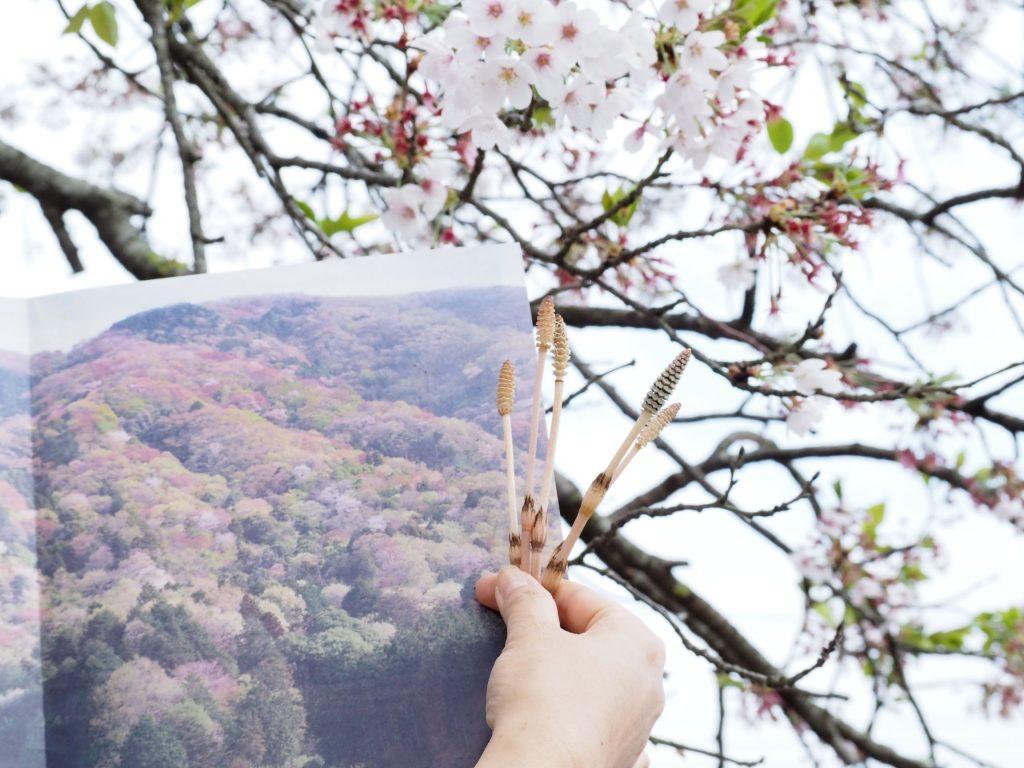 桜川市、桜